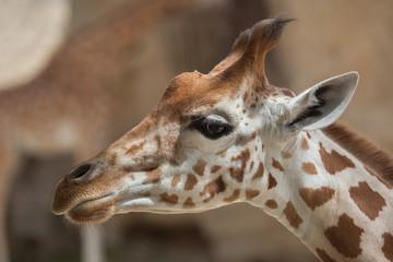 Wall Mural - Kordofan giraffe (Giraffa camelopardalis antiquorum)