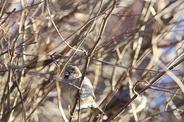The Sparrow pecks buds with the bushes