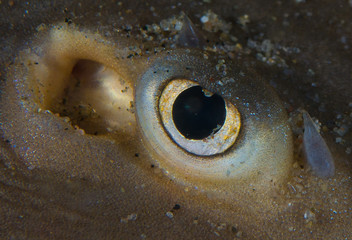 Thornback Ray Eye