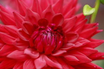 piękny kwiat - dalia detal