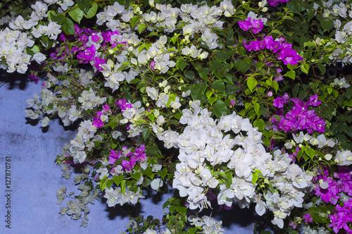 summer tropical bougainvillea shrubs in bloom stockfotos. Black Bedroom Furniture Sets. Home Design Ideas