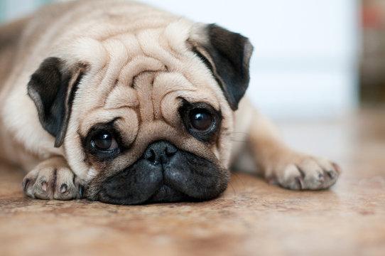sad dog pug lying floor
