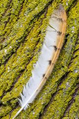 Pluma de Lechuza Común, Tyto alba, sobre tronco de Sauce.