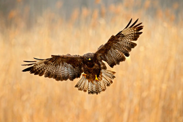 Bird in the meadow with open wings. Action scene from nature. Bird of prey Common Buzzard, Buteo buteo, during autumn with yellow grass. Flying bird of prey.  Action wildlife flight scene from Europe.