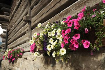 Colored Petunia in Val di Fassa, Dolomites, Italy.