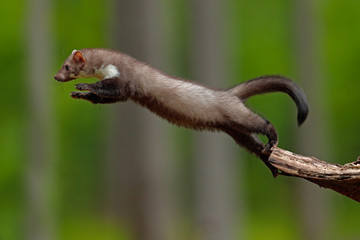 Jumping beech marten, small opportunistic predator, nature habitat. Stone marten, Martes foina, in typical european forest environment. Study of jump, flying cute forest animal. Action wildlife scene. Wall mural