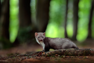 Beech marten, detail portrait of forest animal. Small predator in the nature habitat. Wildlife scene, Germany. Trees with marten. Stone marten, Martes foina, with green forest background. Wall mural