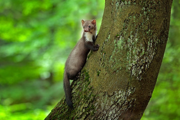 Stone marten, detail portrait of forest animal. Small predator sitting on the tree trunk with green moss in forest. Wildlife scene, Russia. Beech marten, Martes foina, with forest background. Wall mural