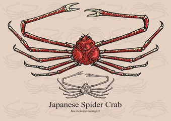 Japanese Spider Crab. Vector illustration for artwork in small sizes. Suitable for graphic and packaging design, educational examples, web, etc.