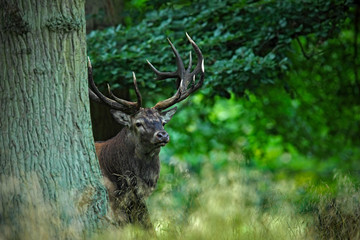Red deer stag, bellow majestic powerful adult animal outside autumn forest, hidden in the trees, big animal in the nature forest habitat, England