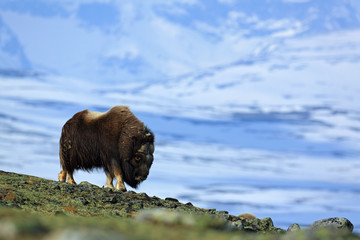 Big animal in the winter mountain. Musk Ox, Ovibos moschatus, with mountain and snow in the background, animal in the nature habitat, Greenland. Winter scene with snow.