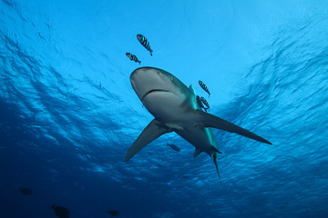 Dangerous big Shark Underwater safari Egypr Red Sea