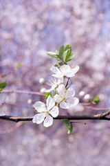 spring season garden - tree blossom close-up