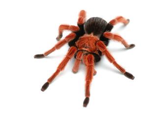 Birdeater tarantula spider Brachypelma boehmei isolated over white. Bright red colourful giant arachnid.
