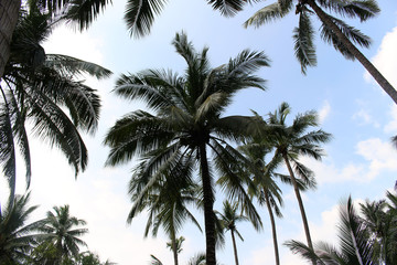 branch palm leaf trees on the cloud blue sky with beautiful suns