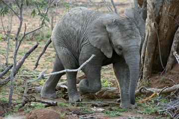 Baby elephant playing in a funny way in the Savanna – South Africa