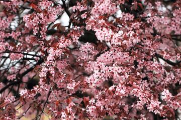 cherries flowers background