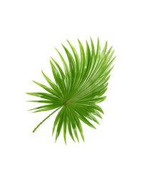 Backside ; Green leaves of palm tree isolated on white backgroun