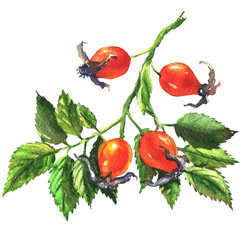 Dog rose, rosehip branch with berries, briar isolated, watercolor illustration