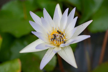 .Bee pollen, nectar on a lotus, beautiful view.