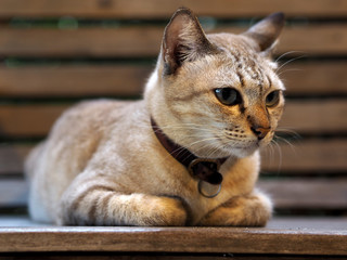 Thai Cat brown color on the wooden bench.