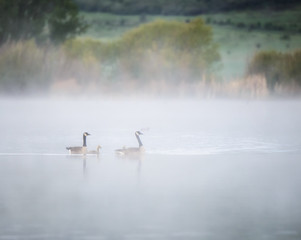 Canada Geese with Gsolings on Foggy Lake