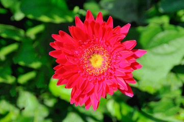Close up of red Gerbera bloom on green background,summer and spring