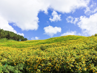 Mexican sunflower on the hill at Mae Hong Sorn ,Thailand.