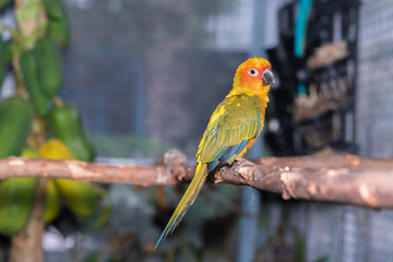 Sun Parakeet or Sun Conure, the beautiful parrot bird with nice feathers details. Colorful parrot sitting on a tree branch