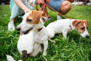 Portrait of three jack russels dogs on leash outdoors