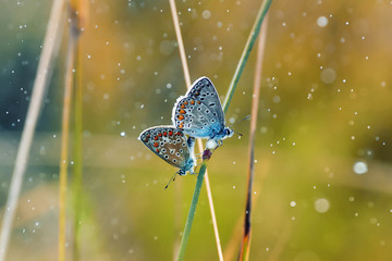 two little blue butterflies sitting on the grass surrounded by drops of dew