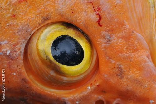 Abstract scary eyeball of a yellow eye fish closeup - Scary yellow eyes ...