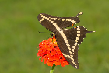 Dorsal view of a Giant Swallowtail butterfly feeding on an orange Zinnia flower with green summer background