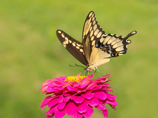 Papilio cresphontes, Giant Swallowtail butterfly feeding on a hot pink Zinnia in summer garden