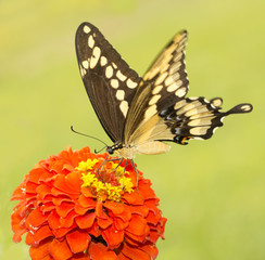 Beautiful Giant Swallowtail butterfly feeding on a bright red Zinnia