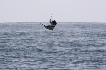 Jump sailfish while deep sea sport ocean fishing. Pacific ocean,