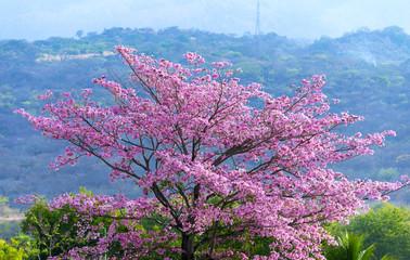 Beautiful blooming pink flower of Tabebuia heterophylla. (Trumpet Tree) in Guatemala