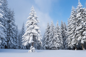 Fototapete - Winter forest after a snowfall