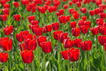 Tulips flowers. Many fresh red tulips in urban park. Big floral flower bed. Beautiful nature background
