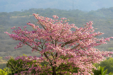 Beautiful blooming pink flower of Tabebuia heterophylla. (Trumpet Tree) in Guatemala