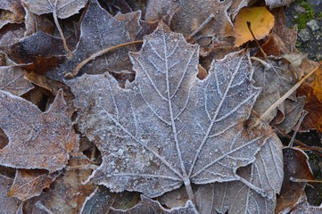 First frosts and frozen autumn maple leaves on ground