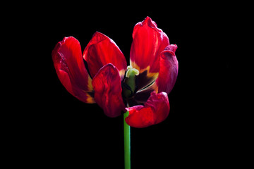 Artistic image of red tulip, droopy flower, floral motif wallpaper