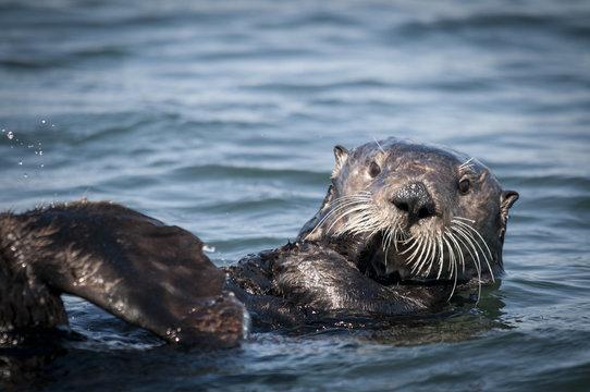 Sea Otter, Moss Landing