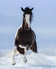 Fototapete - Pinto horse on snowfield