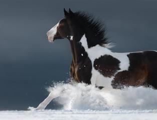 Fototapete - American Paint horse running gallop across winter snowy field