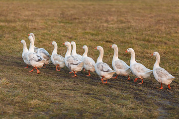 Белые гуси на лугу