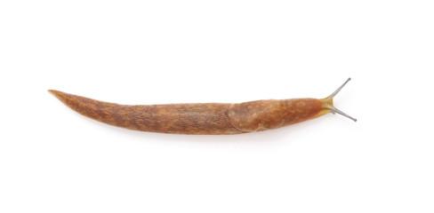 Long snail.