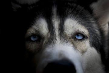 Siberian husky close up on face focus at blue eye in black background