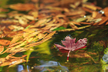 Red maple leaf with other leaves on the green water.
