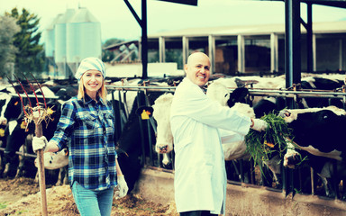Couple of vets working with milky cows